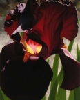 Deep Red Iris Aflame