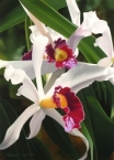 Captivating Cattleya